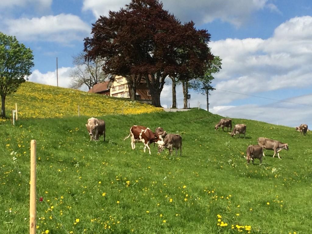 Spuhl Swiss brown cows